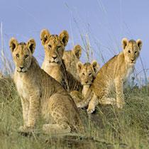 RAVENSBURGER LION BABIES 500P